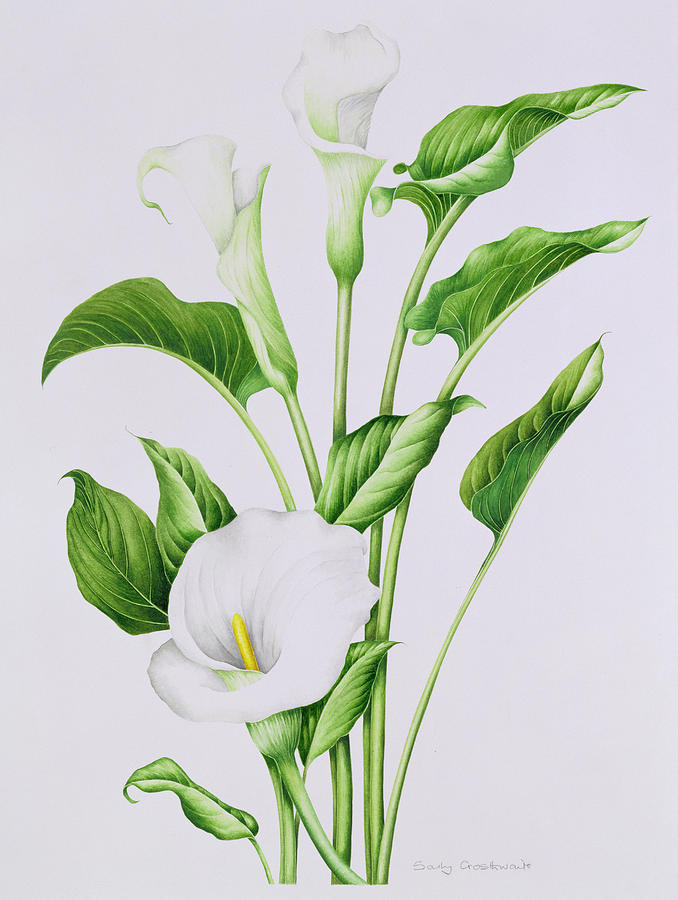 Arum Lily Painting By Sally Crosthwaite