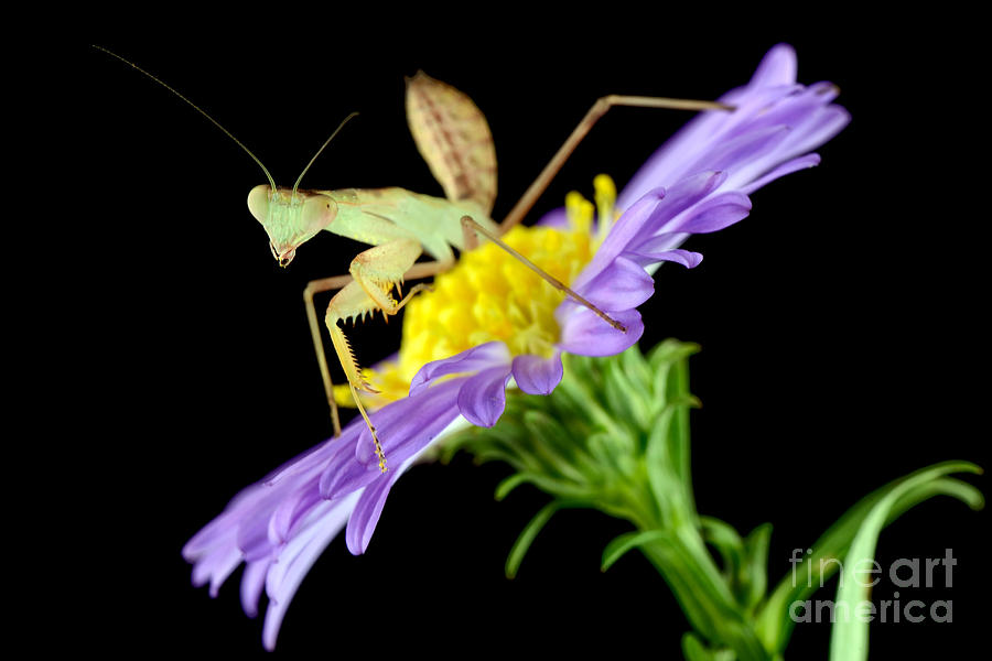 Asian Mantis Photograph  - Asian Mantis Fine Art Print