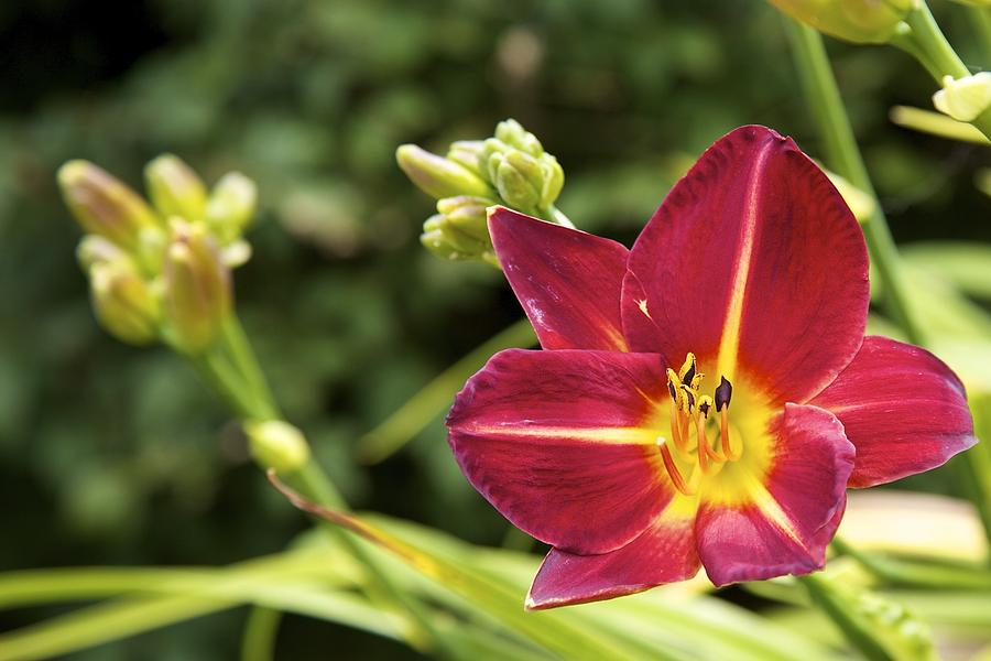 Asiatic Lily  Photograph  - Asiatic Lily  Fine Art Print