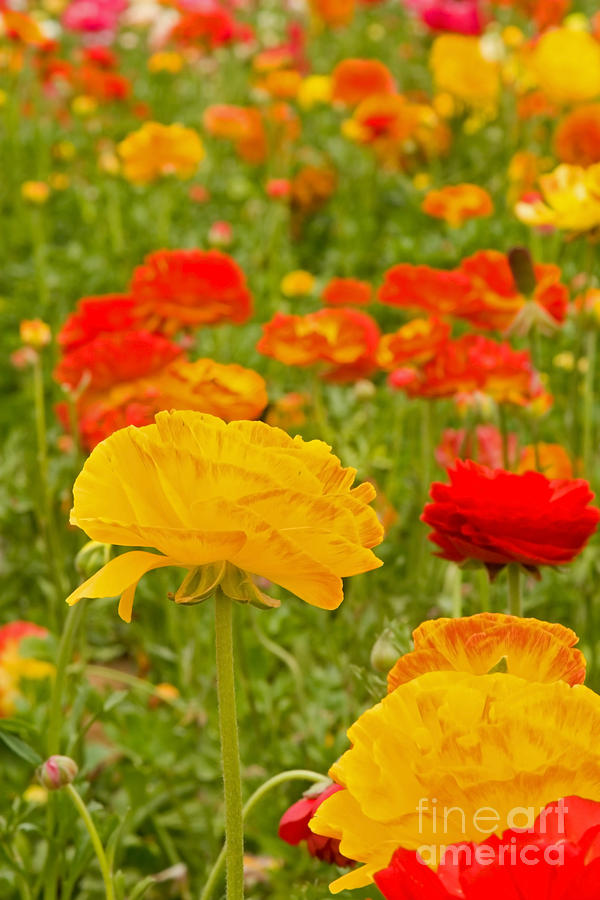 Asiatic Ranunculus Flowers Photograph