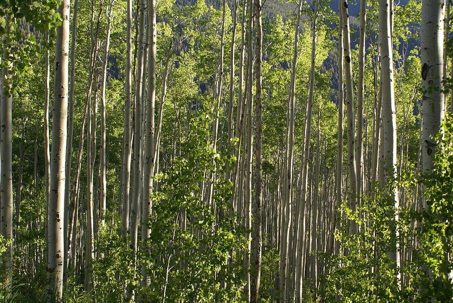 Aspen Along Independence Pass  Photograph