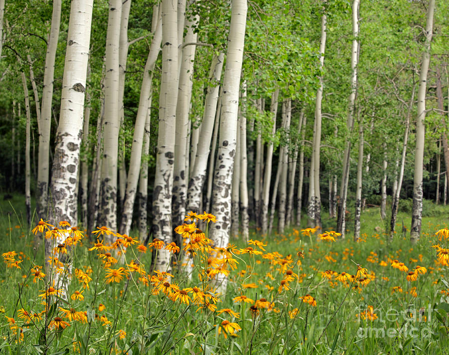 Aspen Grove And Wildflower Meadow Photograph  - Aspen Grove And Wildflower Meadow Fine Art Print