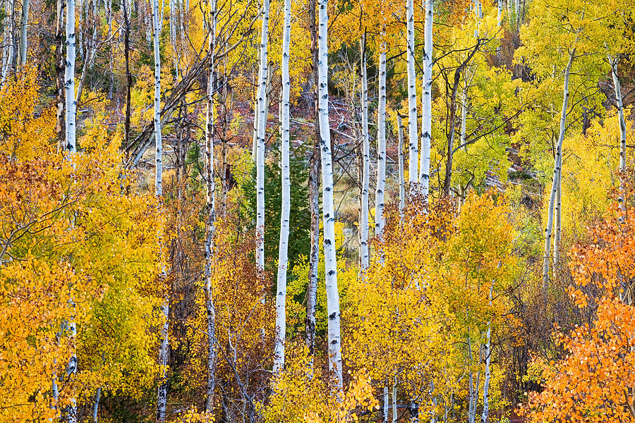 Autumn Photograph - Aspen Tree Magic by James BO  Insogna
