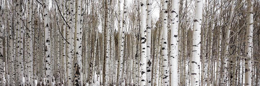 Aspens In Winter Panorama - Colorado Photograph