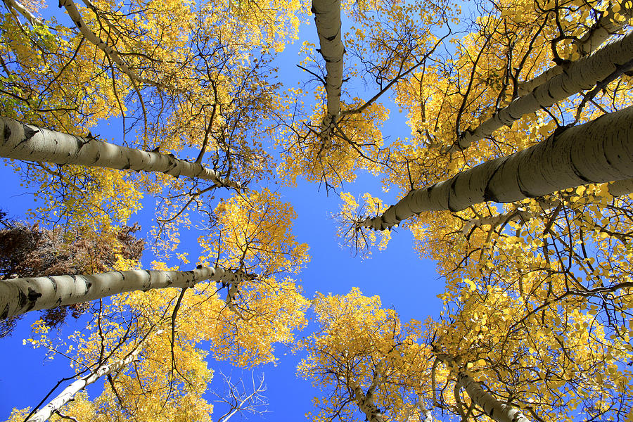 Aspens Skyward Photograph