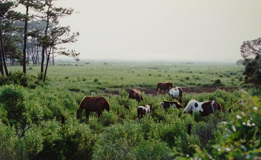 Assateague Photograph - Assateague Herd 2 by Joann Renner