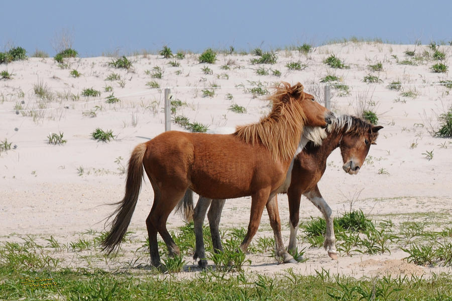Assateague Herd Rivalry 4 0045 Photograph  - Assateague Herd Rivalry 4 0045 Fine Art Print