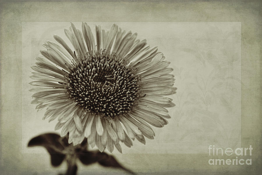 Toned Aster Photograph - Aster With Textures by John Edwards