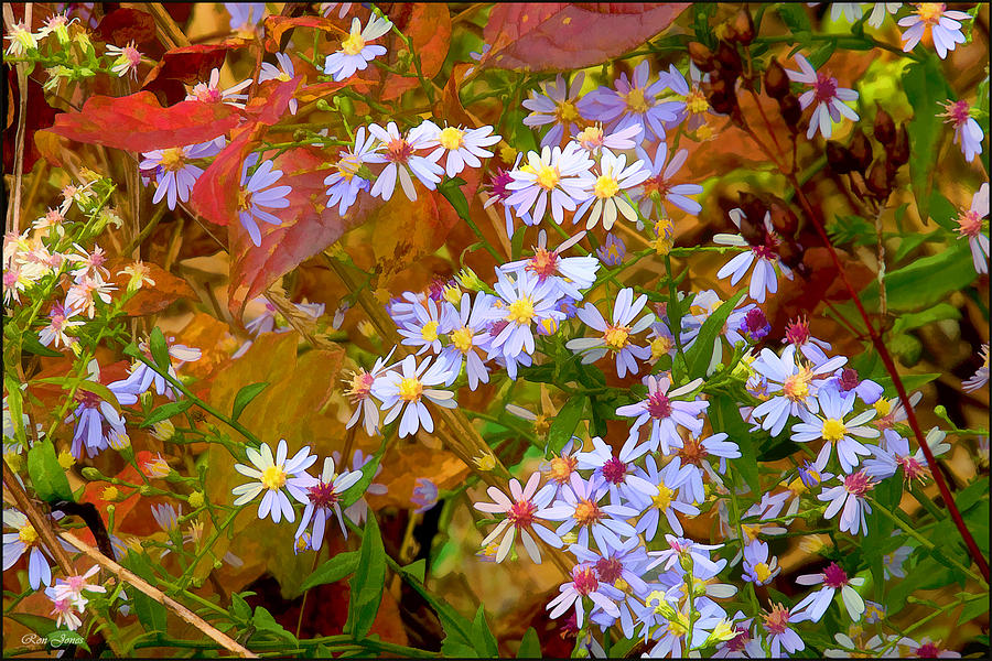 Asters Photograph  - Asters Fine Art Print
