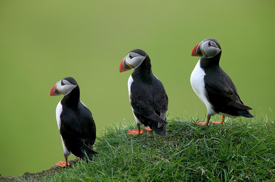 Jh Photograph - Atlantic Puffin Trio On Cliff by Cyril Ruoso
