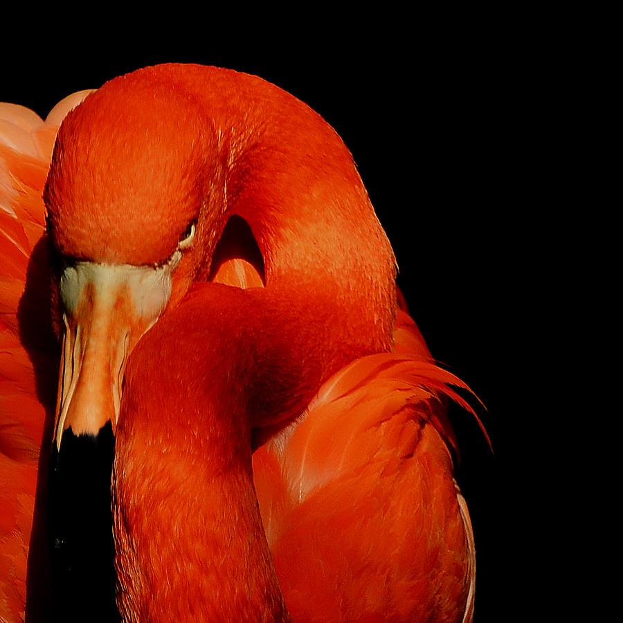 Flamingo Photograph - Attitude by Stuart Harrison