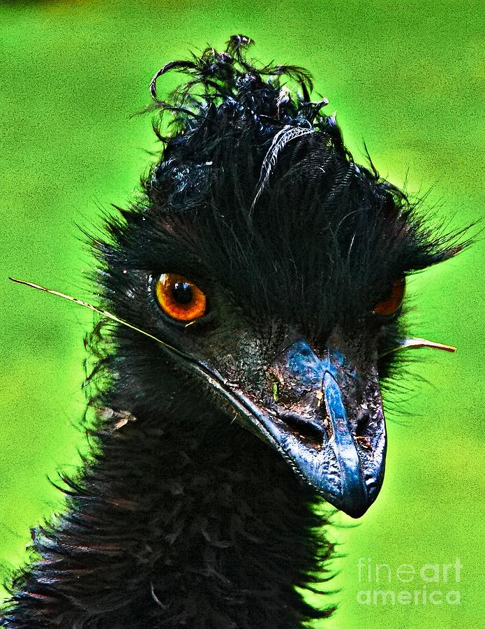 Australian Emu Photograph