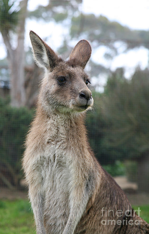 Australian Kangaroo Photograph