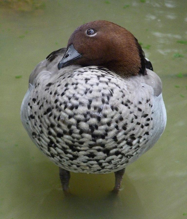 Australian Wood Duck Photograph