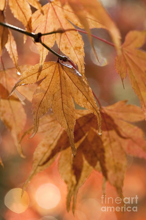 Autumn Acer Photograph
