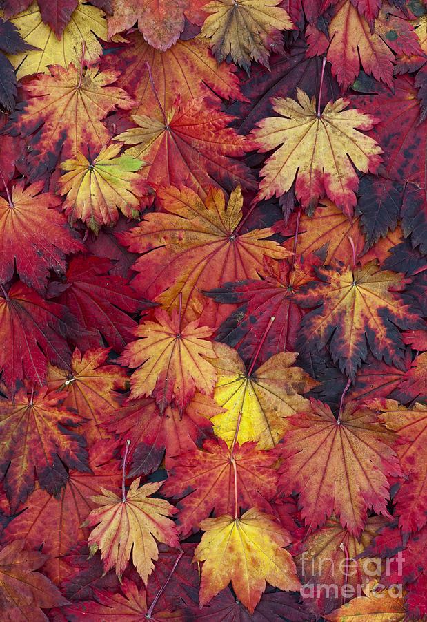 Autumn Acer Leaves Photograph