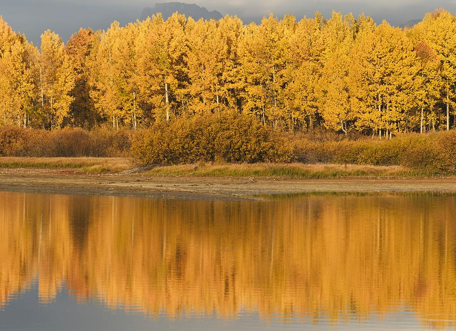 Autumn Aspens Reflected In Snake River Photograph