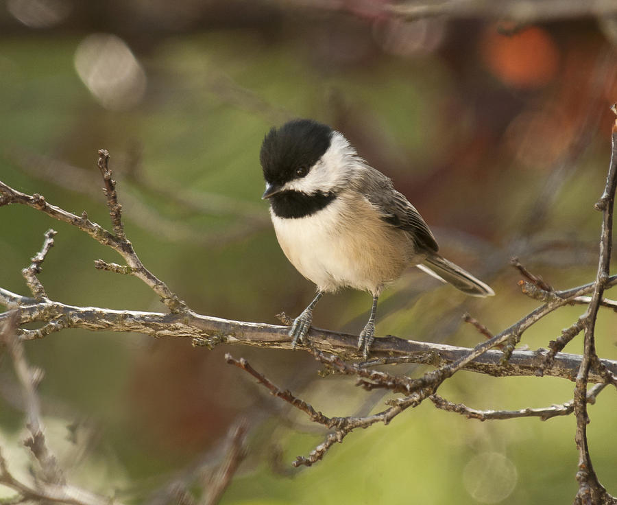 Autumn Colors Chickadee Photograph  - Autumn Colors Chickadee Fine Art Print