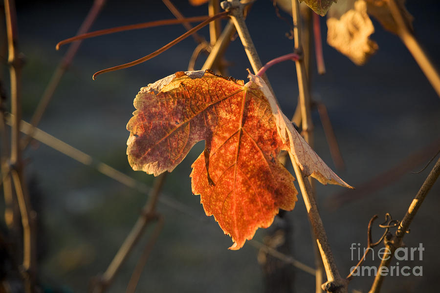 Autumn Grape Leaf Photograph  - Autumn Grape Leaf Fine Art Print