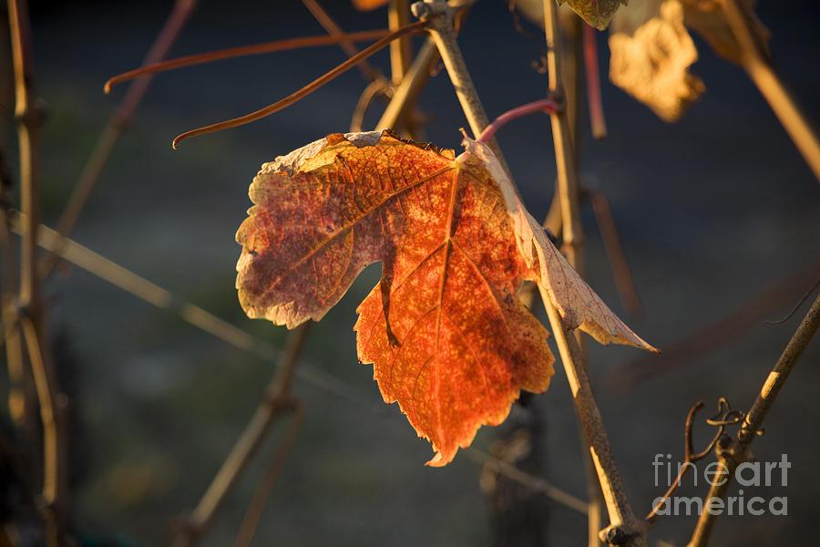 Autumn Grape Leaf Photograph