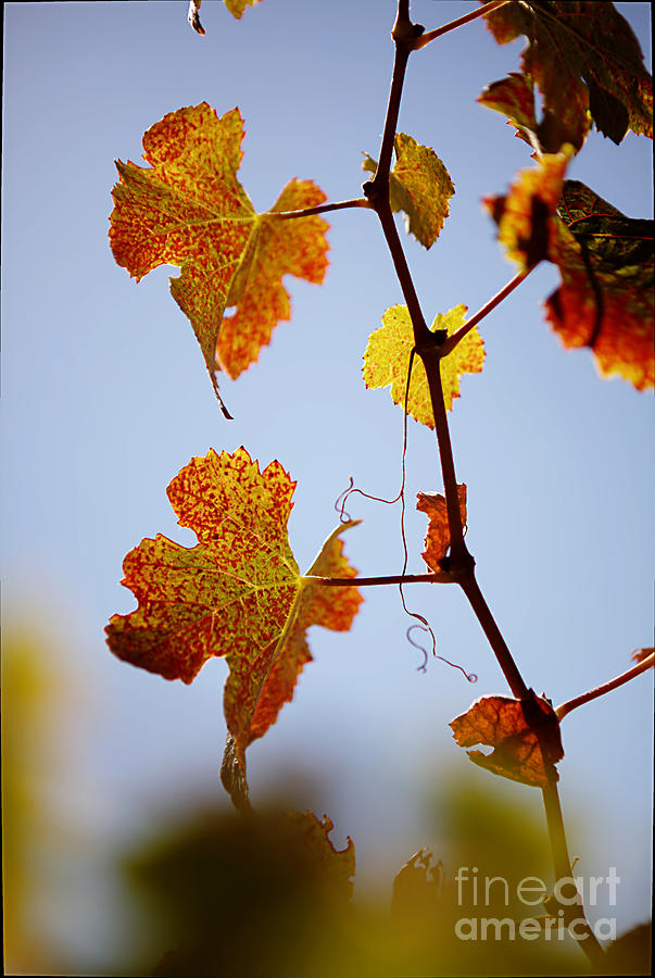 Autumn Grapevine Photograph  - Autumn Grapevine Fine Art Print