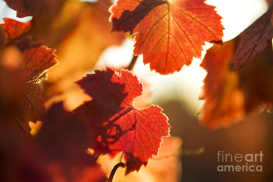 Autumn Grapevine Leaves Photograph