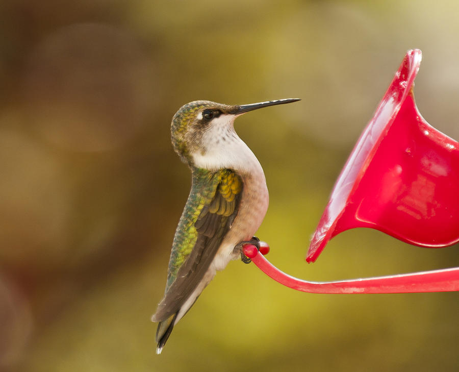 Autumn Hummingbird Photograph  - Autumn Hummingbird Fine Art Print