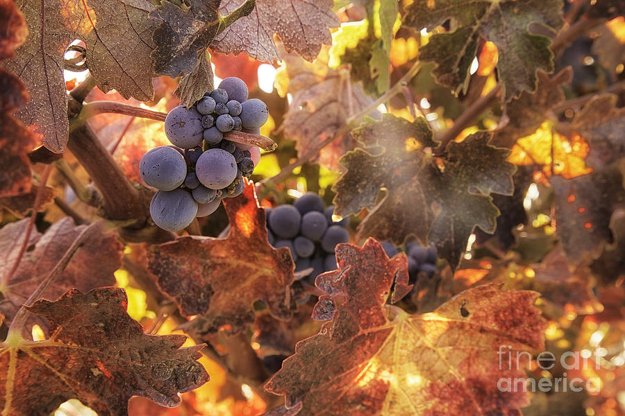 Autumn In The Vineyard Photograph