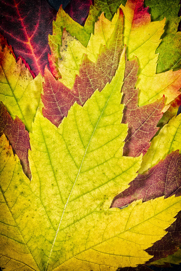 3scape Photos Photograph - Autumn Maple Leaves by Adam Romanowicz
