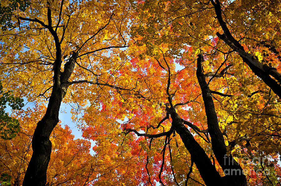 Autumn Maple Trees Photograph