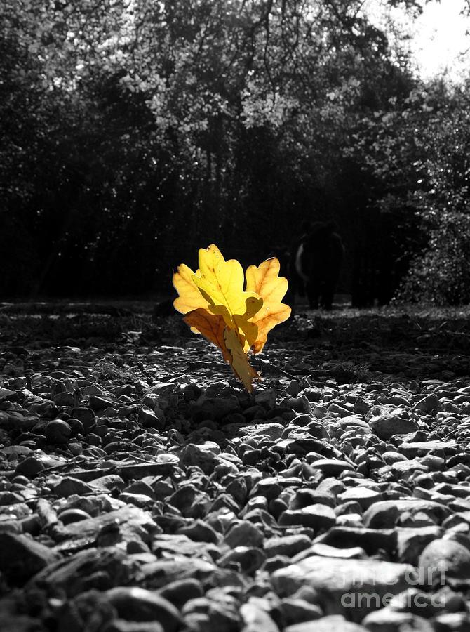 Autumn Oak Isolations Photograph