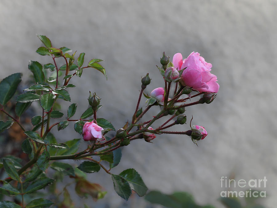 Autumn Rose Photograph