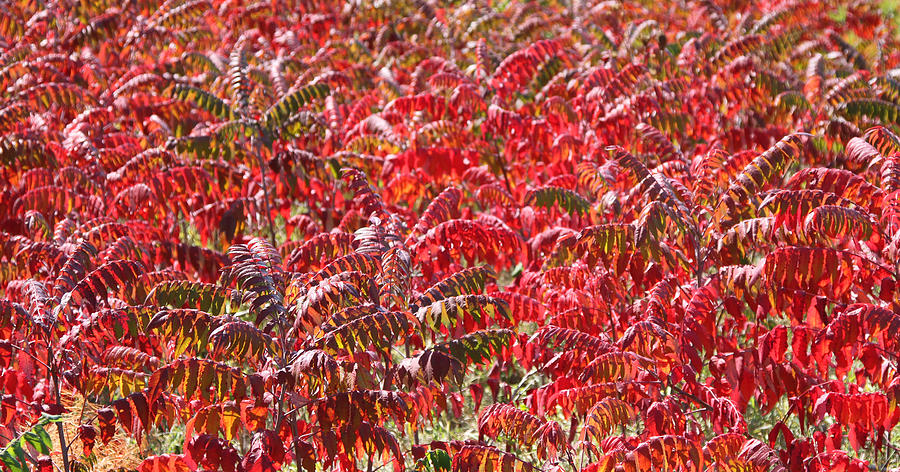 Autumn Sumac Photograph  - Autumn Sumac Fine Art Print