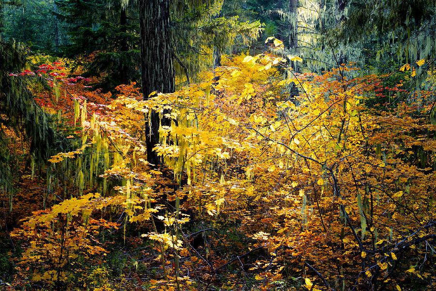 Autumn Sunbeam In The Forest  Kittitas County
