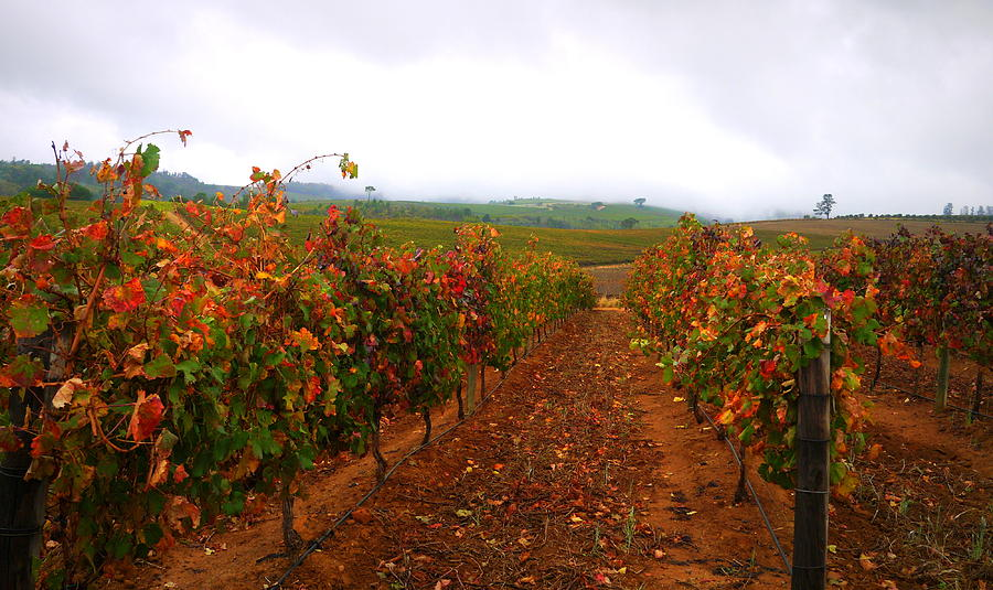 Autumn Vineyard Photograph