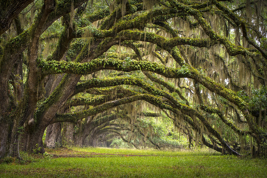 Avenue Of Oaks - Charleston Sc Plantation Live Oak Trees Forest Landscape Photograph