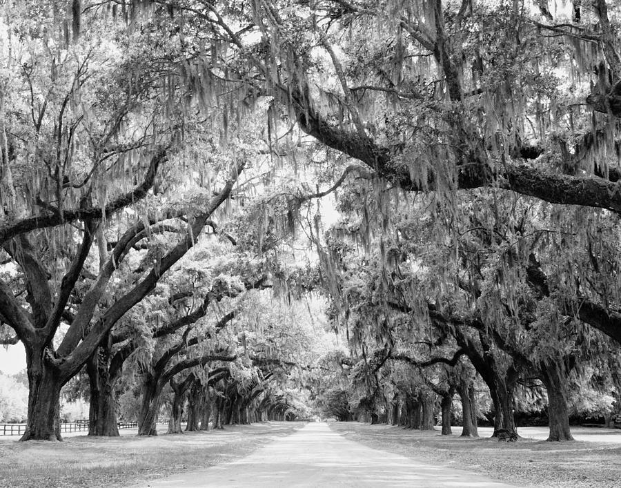 Avenue Of Oaks Charleston South Carolina Photograph