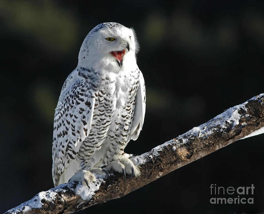 Awakened- Snowy Owl Laughing Photograph  - Awakened- Snowy Owl Laughing Fine Art Print