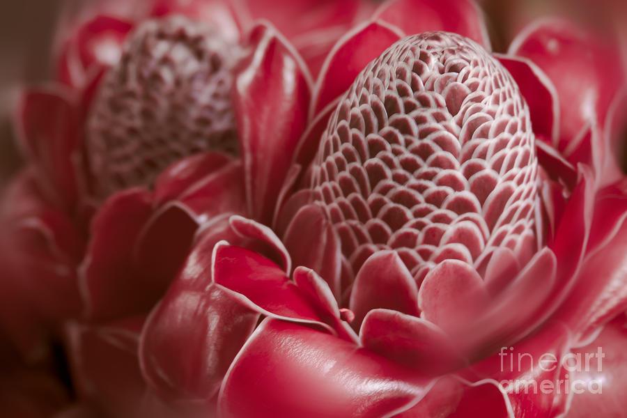 Aloha Photograph - Awapuhi Ko Okoo - Torch Ginger - Etlingera Elatior - Phaeomeria Magnifica by Sharon Mau