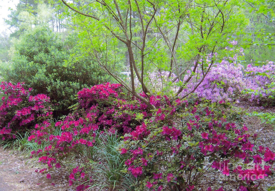 Azaleas In Texas Photograph 