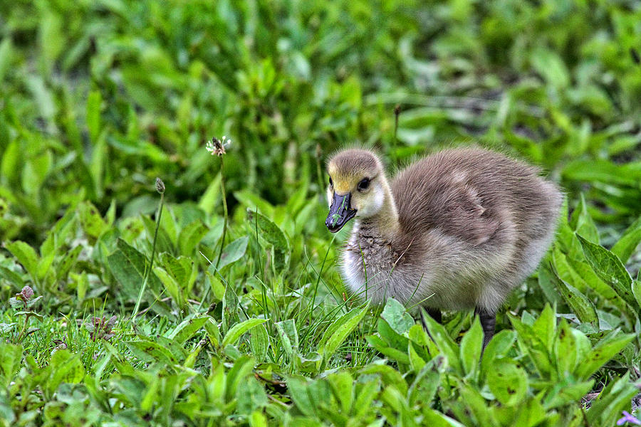 Canadian Geese Photograph - Babe On Safari by Karol Livote