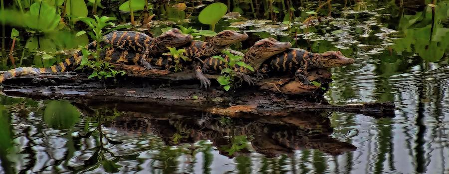 Baby Alligators Reflection Photograph - Baby Alligators Reflection by Dan Sproul