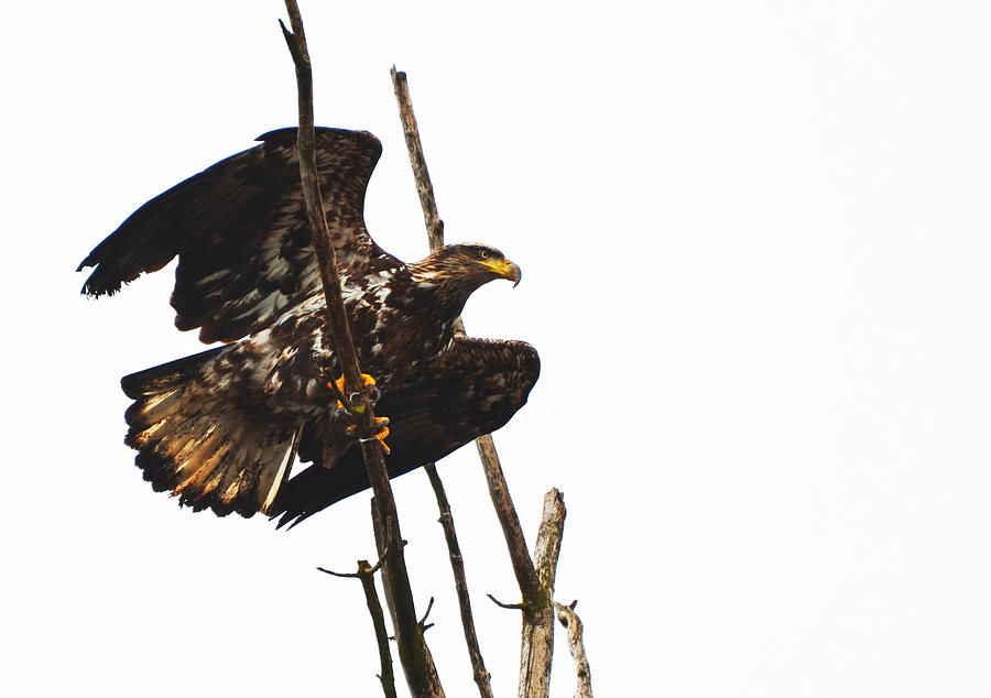 Eagle Photograph - Baby Baldy by Annie Pflueger
