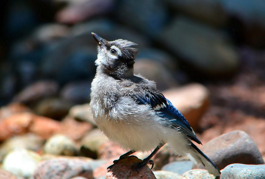 Baby Blue Jay Photograph by Deena Stoddard