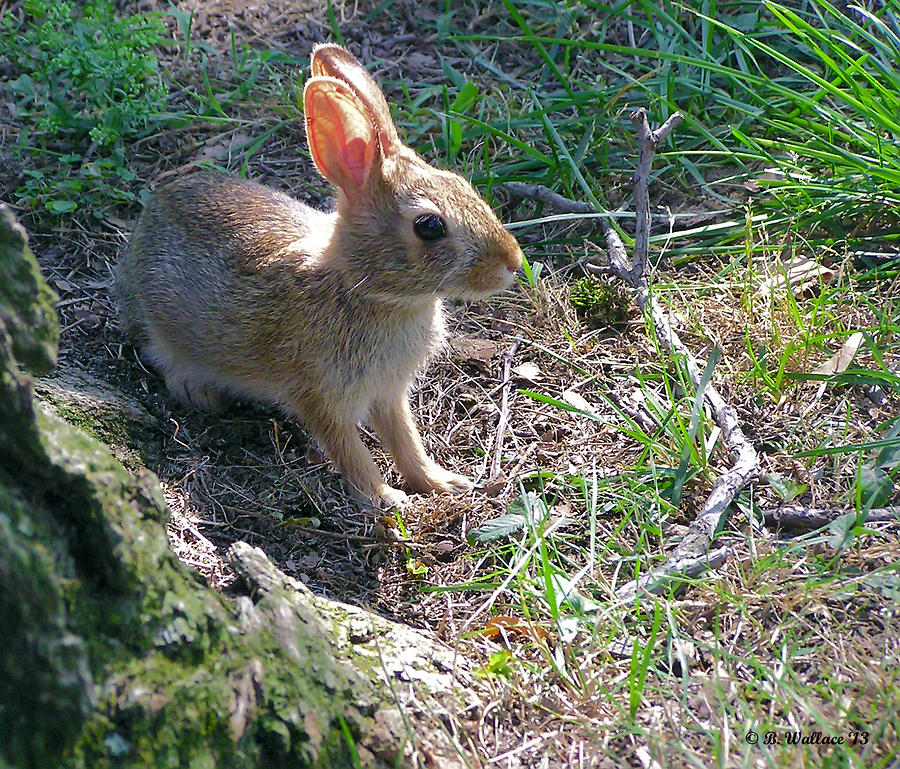 2d Photograph - Baby Bunny by Brian Wallace