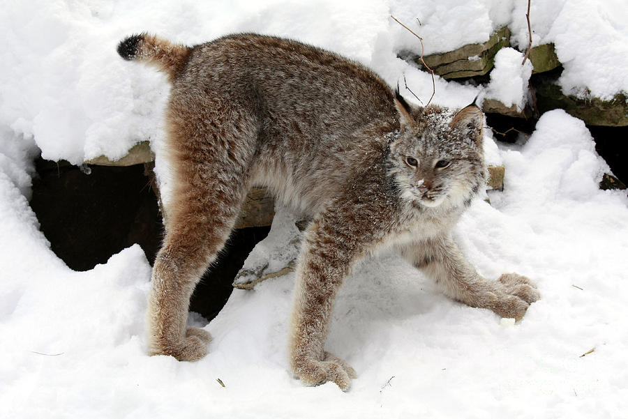 Baby Canadian Lynx Leaving The Winter Den Photograph  - Baby Canadian Lynx Leaving The Winter Den Fine Art Print