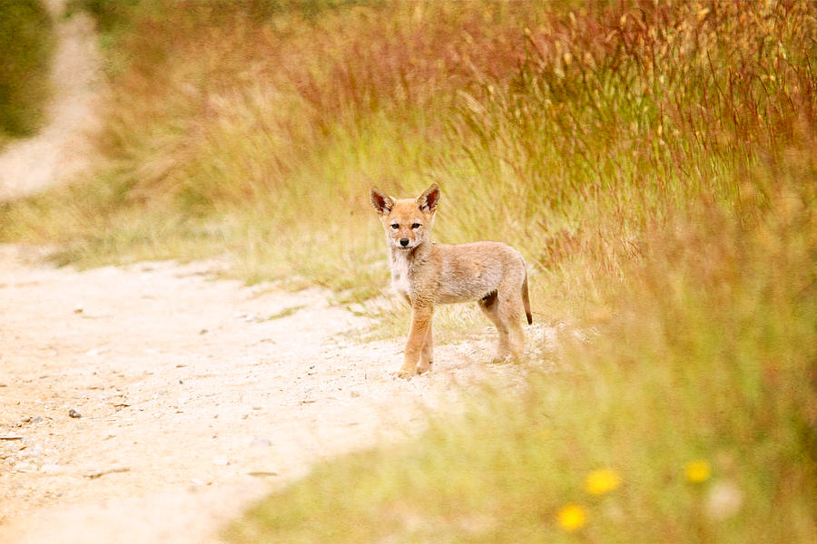 Baby Coyote On The Trail Photograph by Peggy Collins