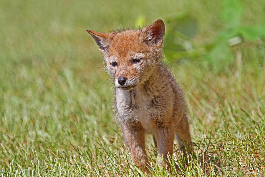 Baby Coyote Photograph by Peggy Collins