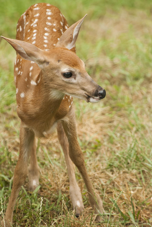 Baby Deer - Whitetail Fawn Photograph: fineartamerica.com/featured/baby-deer-whitetail-fawn-debra-breton.html