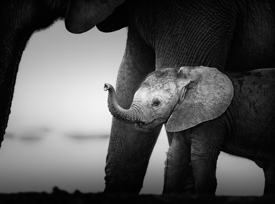 Baby Elephant Next To Cow  Photograph
